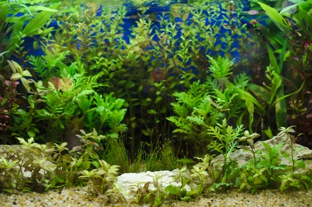 echinodorus: Planted in aquarium, tropical plant underwater for decoration Stock Photo
