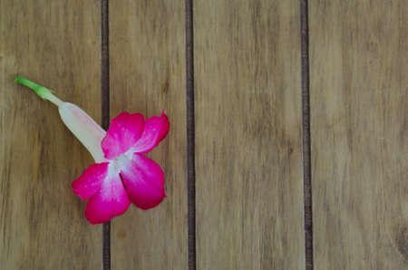 desert rose: Desert Rose on wood table