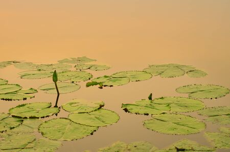 Lotus flower and leaves still in lake with a beautiful sunrise photo