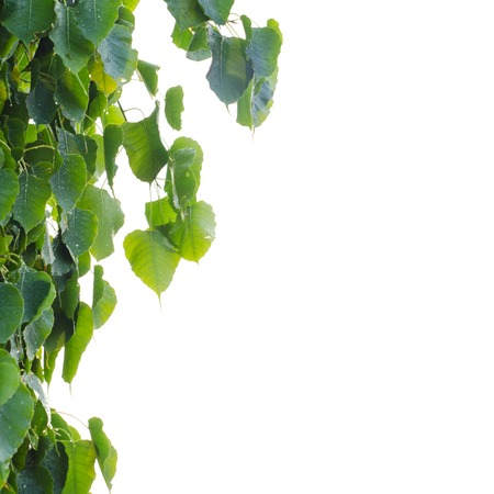 pipal: Sacred Fig Tree leaves against white background, Pipal Tree, Bohhi Tree, Bo Tree, Peepul, Ficus religiosa