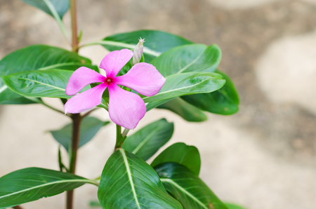Pink periwinkle flower against a natural backgroundcatharanthus pink periwinkle flower against a natural backgroundcatharanthus roseus g don stock photo mightylinksfo