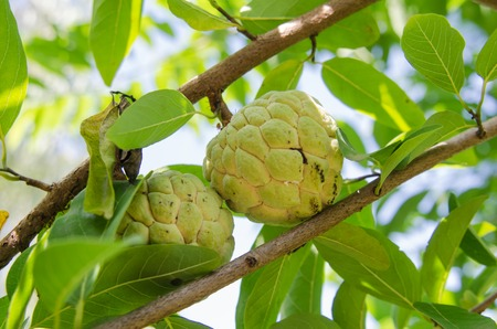 annona: Custard apples or Sugar apples or Annona squamosa Linn. growing on a tree in garden at Thailand.