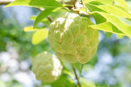 squamosa: Custard apples or Sugar apples or Annona squamosa Linn. growing on a tree in garden at Thailand.
