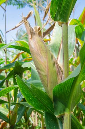 champ de mais: Le maïs doux dans le champ de maïs, le maïs en épi