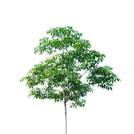 Rubber tree isolated on white background, Hevea brasiliensis. Reklamní fotografie