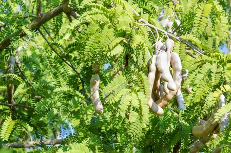 laxative: Tamarind on tree in farm and blue sky in Thailand