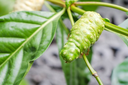 morinda: Great morinda on tree and green leaves with ant.(Noni, Beach mulberry, Indian mulberry, Cheese fruit), Morinda citrifolia L. Stock Photo
