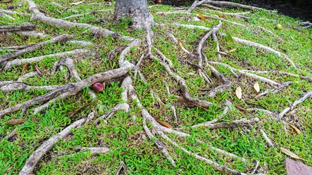 grass roots: Roots of tree above the ground and grass Stock Photo