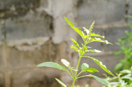 agri: Ocimum tenuiflorum L. in the garden (Holy basil, Sacred basil)