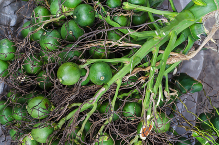 areca: Betel palm or Betel nut or Areca catechu green raw in bunch