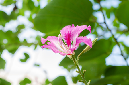 orchid tree: Purpurea flower blooming with green leaves in the garden morning, Butterfly Tree, Orchid Tree, Purple Bauhinia.