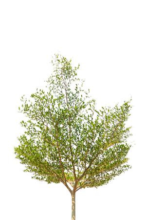 agri: Green tree isolated on white background Stock Photo