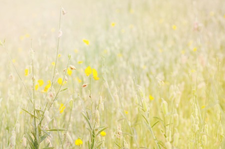 leguminosae: Soft focus of Crotalaria juncea flower with color filter ( Fabaceae, Leguminosae )
