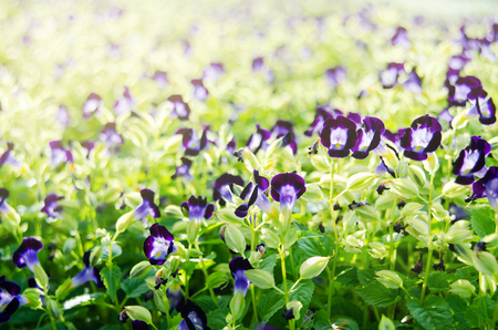 Wishbone flower, Bluewings or Torenia blooming on green leaves with soft light in garden. Stock Photo