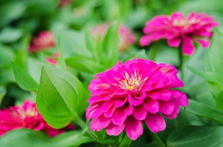 Zinnia flower(Zinnia violacea Cav.) bloom on green leaves in the garden.