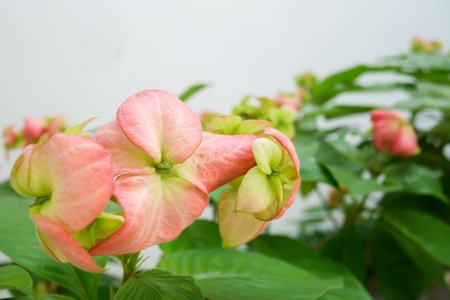 Red flower bloom with green leaves Ashanti Blood or Mussaenda erythrophylla.