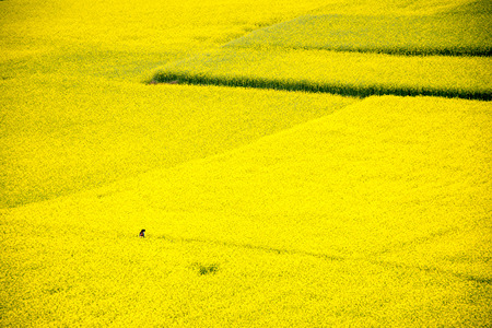 mustard field: Mustard field blooming before harvest. Stock Photo