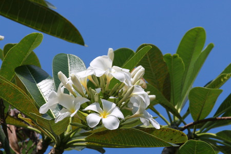 Beautiful white is Champa flower in Thailand photo