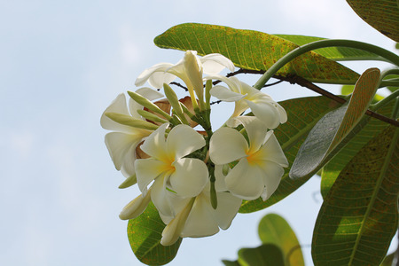 champa flower: Beautiful white is Champa flower in Thailand Stock Photo