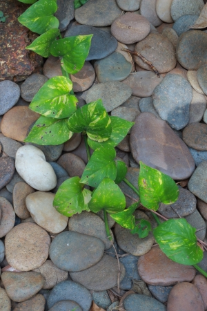 Round rock garden  With green ivy leaves  photo