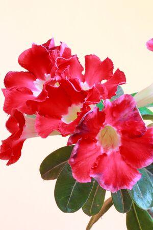Pink azalea flowers blooming beautiful Stock Photo - 16303061