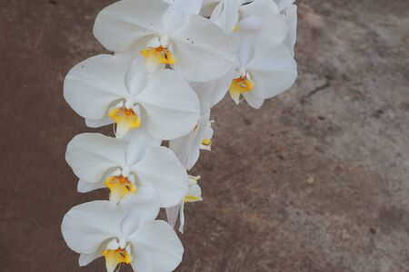 White orchid  Brown background  photo