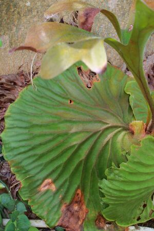 pinnately: Deer fern green leaves