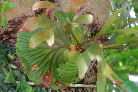 platycerium grande: Deer fern green leaves