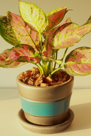 Aglaonema , Dud Anyamanee Stock Photo