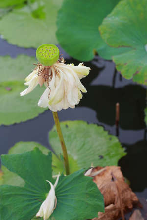 withering: Withering lotus petals in the lake