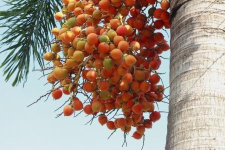 Betel palm Stock Photo - 16741212
