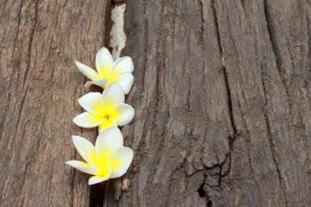 Frangipani flowers white