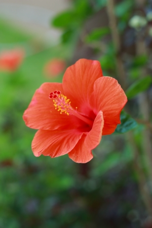 Flower orange Hibiscus flower  photo