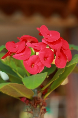 Red flowers Poi Sian Stock Photo - 16887967