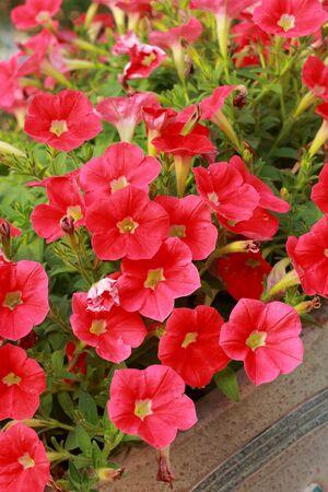 The petunias red flowers