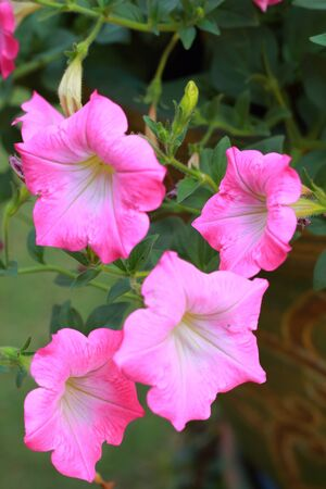 The petunias pink flowers