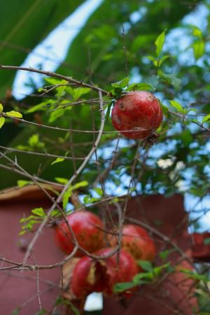 Pomegranate Stock Photo - 17424069