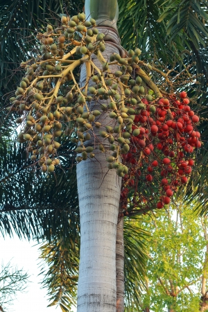 Betel palm Stock Photo - 17424330
