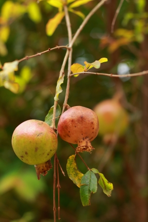 Pomegranate on tree photo
