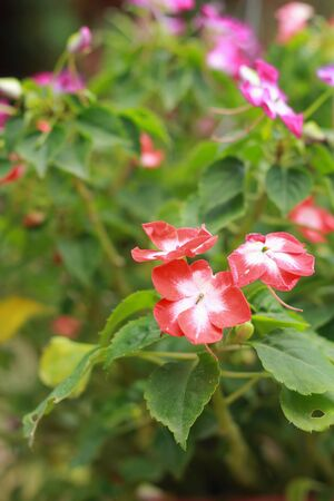 Garden Balsam -  Red Flowers Stock Photo - 17983806