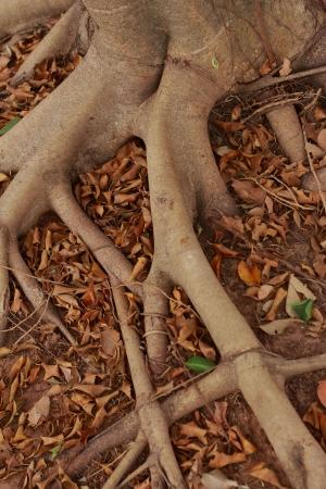 Natural tree root  photo