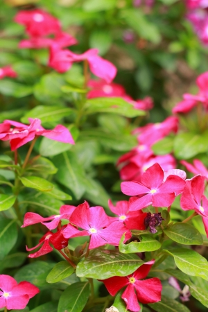Garden Balsam -  Pink Flowers Stock Photo - 18088856