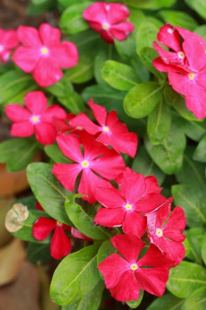 Garden Balsam -  Red Flowers