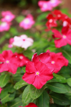 Garden Balsam -  Red Flowers Stock Photo - 18088854