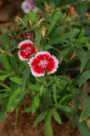 petites fleurs: Petites Fleurs Rouges
