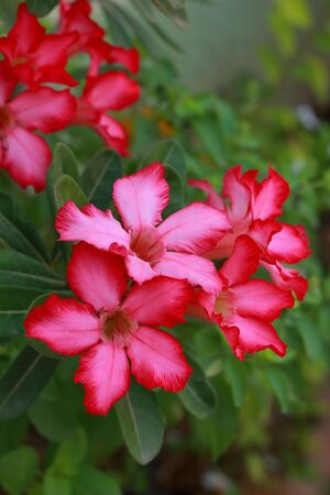 Impala lily adenium - pink flowers Stock Photo - 18381253