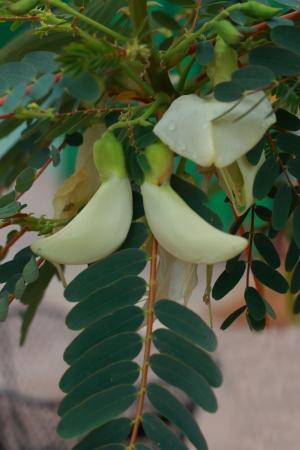 Agasta tree  photo