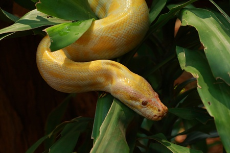The Python Gold  Stock Photo