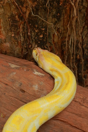 The Python Gold  photo