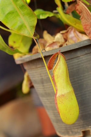 Nepenthes photo